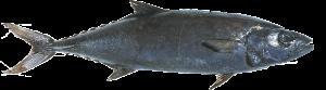 ikan gindara / ikan malaikat